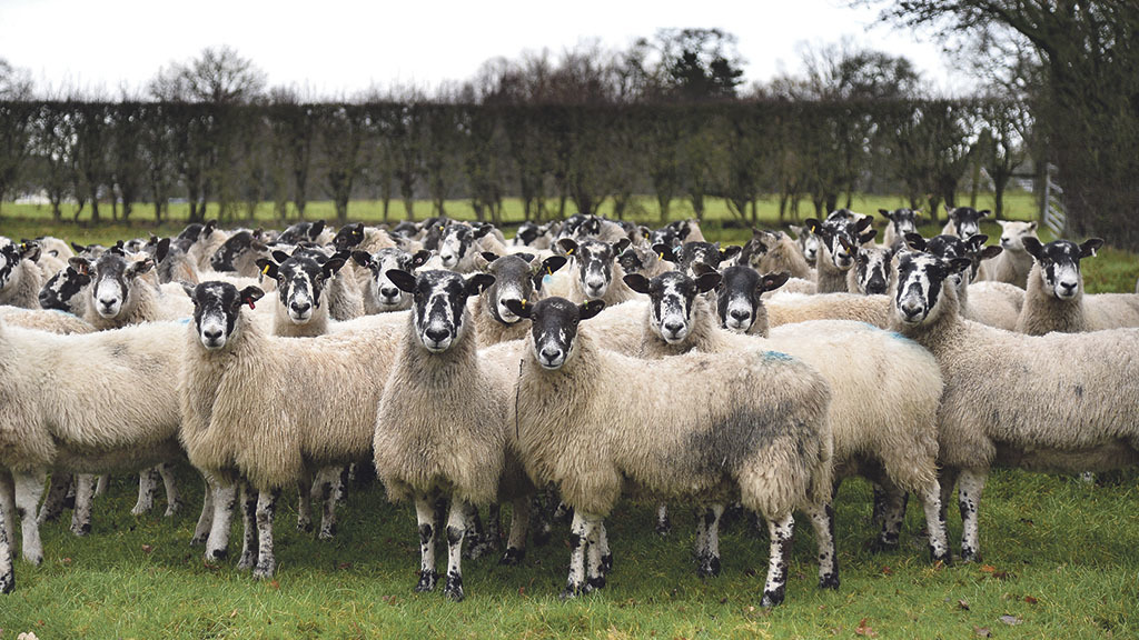AS Police believe the sheep were stolen from as far as 300 miles away.
