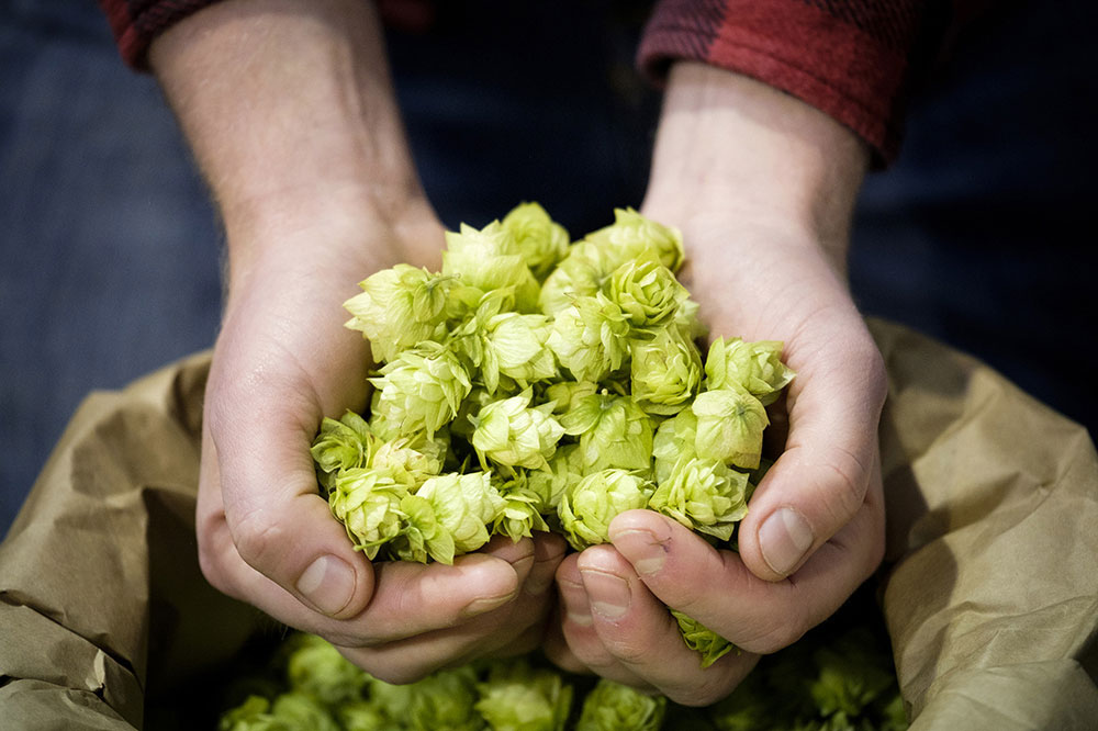 Hops have been grown in Scotland at the James Hutton Institute