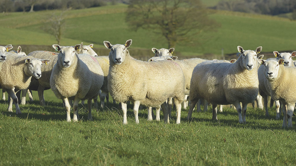 Parasite threat to sheep and cattle at turnout