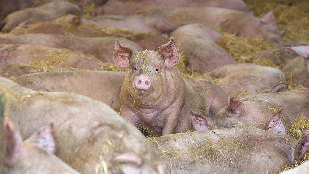Pig trotters to be exported to China for first time in 'huge' export deal