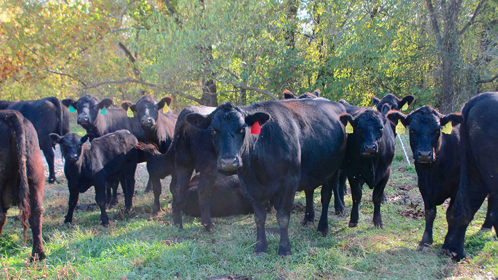 US research facility ventures into grass-fed beef production