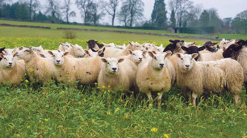 BREXIT: Long term gain is goal for sheep sector