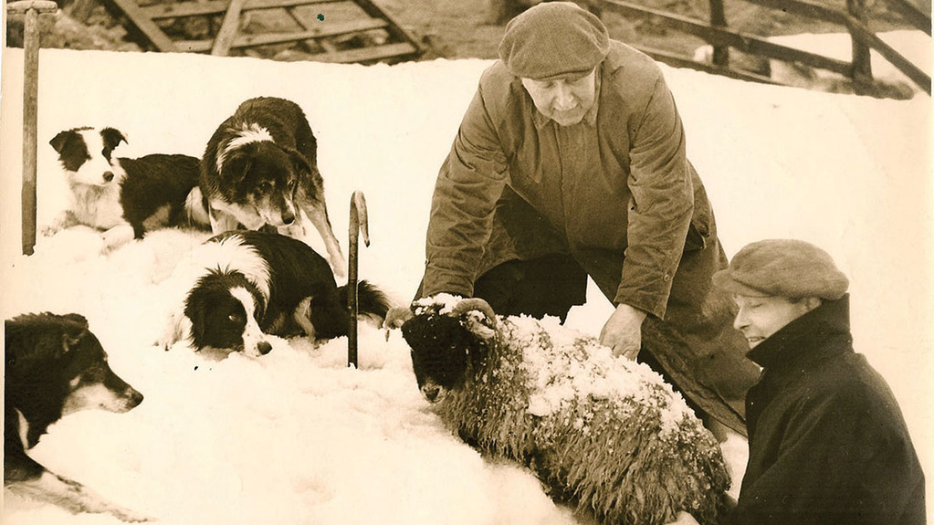 Rescuing sheep from a snow drift