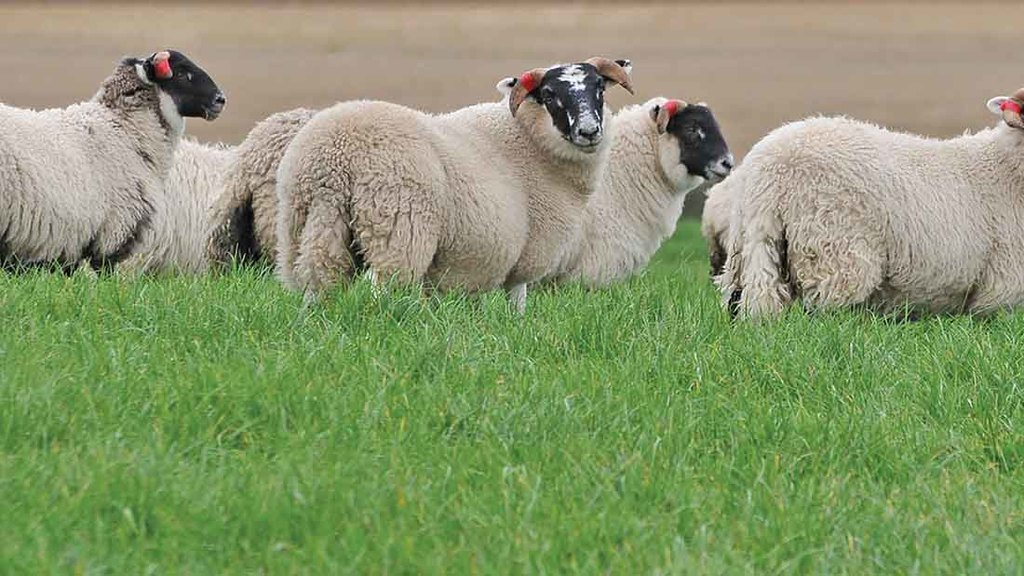 UK sheep farmers' fear over free-trade with New Zealand