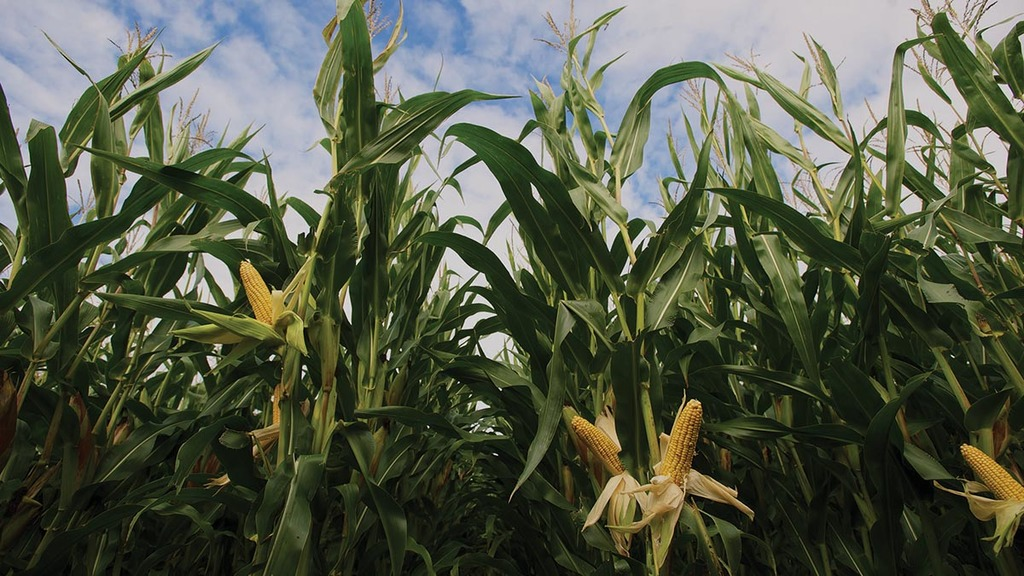 Choose maize varieties to deliver best feed quality