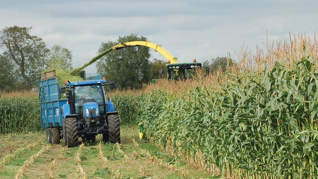 Drilling after maize harvest an option to ease forage shortages