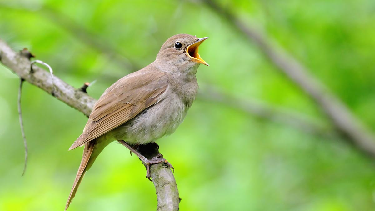 The nightingale population in England is now as low as 6,000.