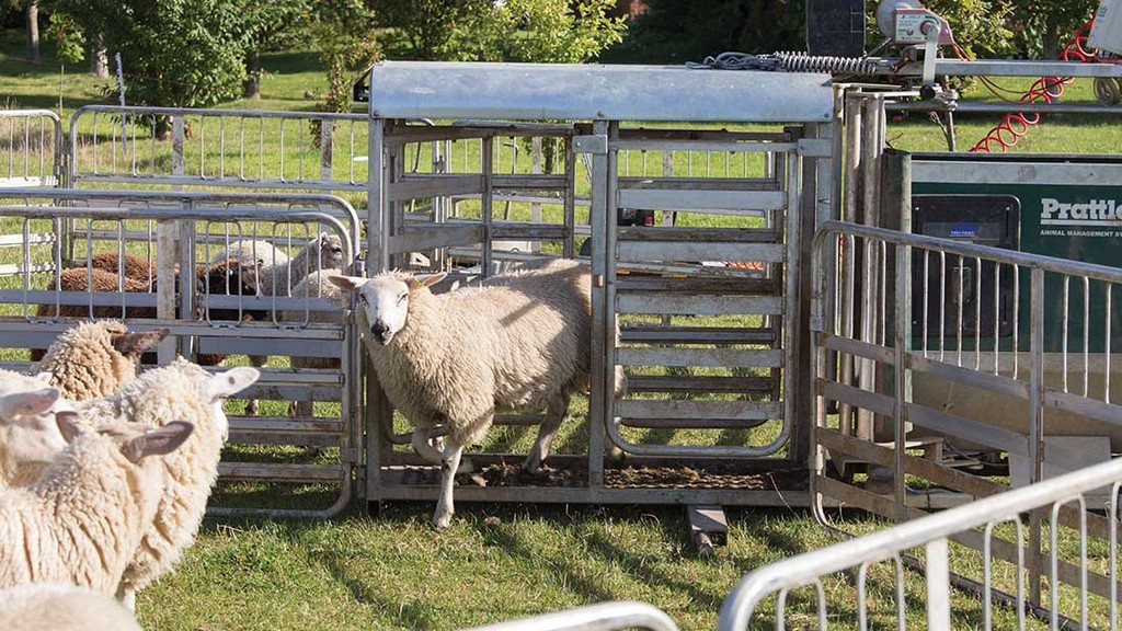 Sheep handling systems being 'stolen to order'