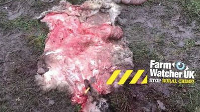 Sheep slaughtered and butchered in overnight attack