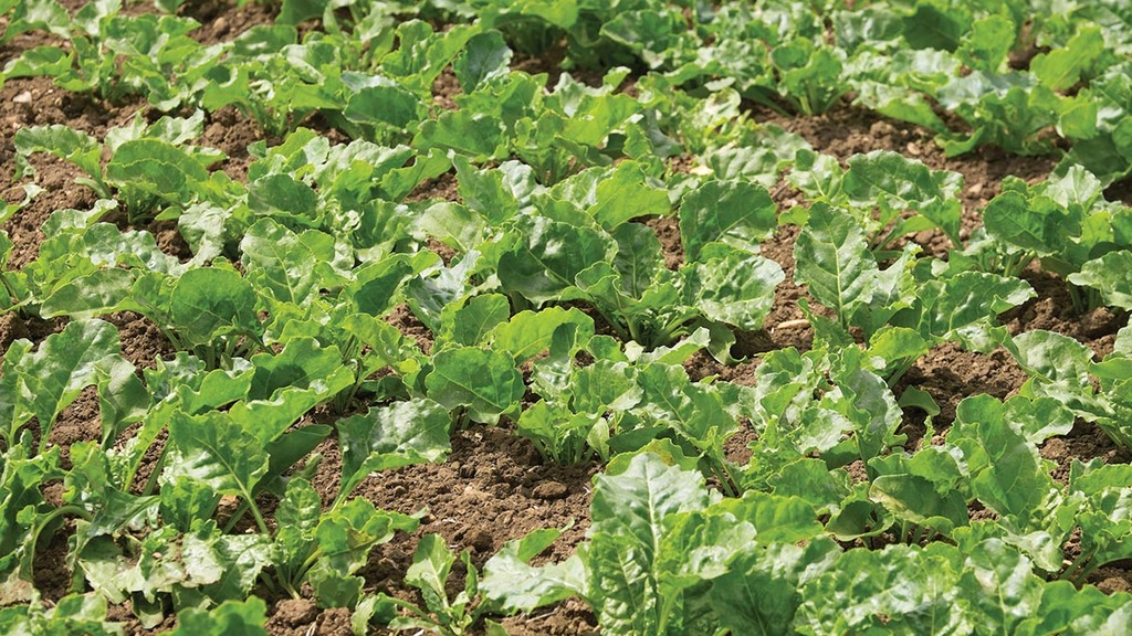 Sweeter times ahead for sugar beet growers?