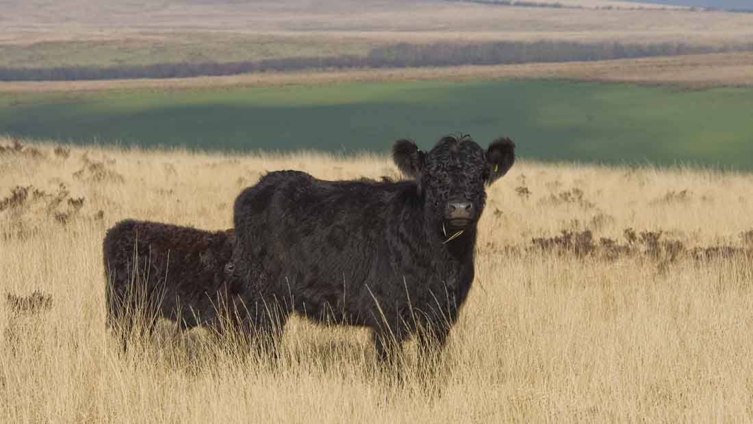 Galloways at home on Exmoor