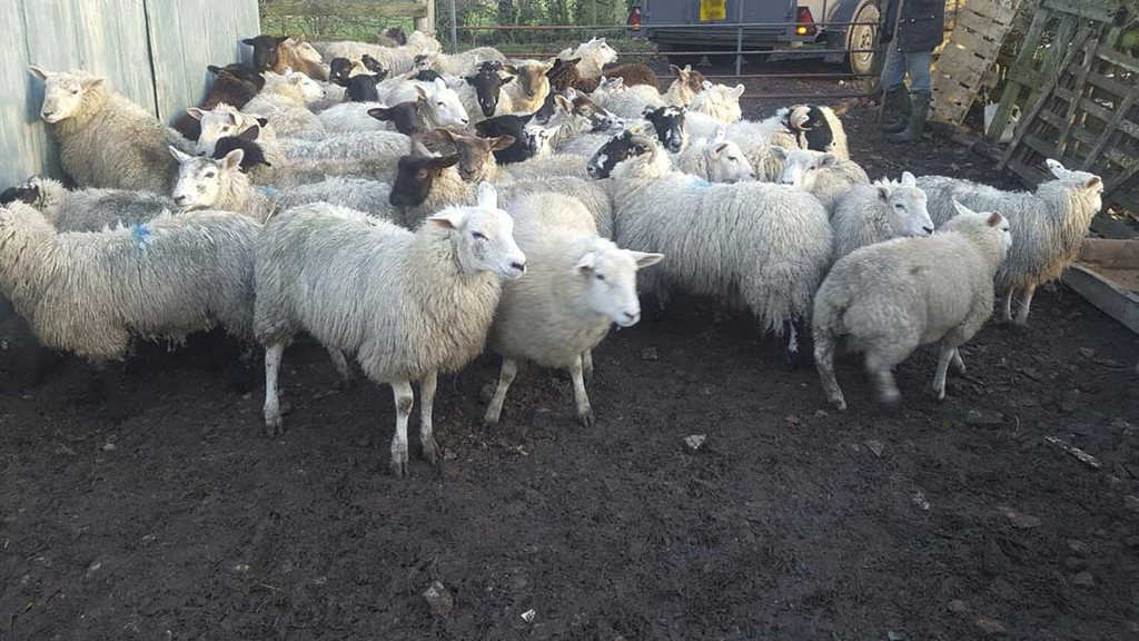 Man arrested after theft of 65-strong flock of sheep and goats