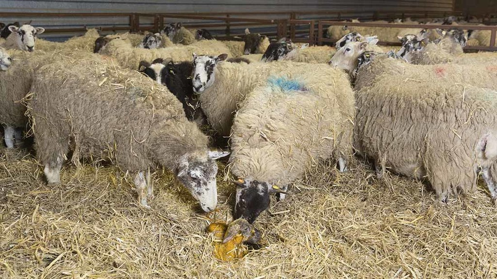Recording lamb performance helps improve future of flock