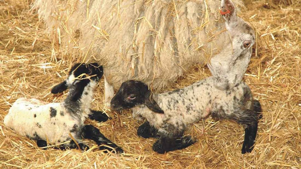 Managing colostrum during lambing: What farmers need to know