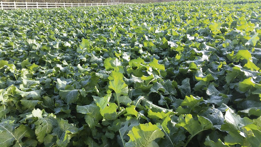 N timing and application rates key to OSR canopy management