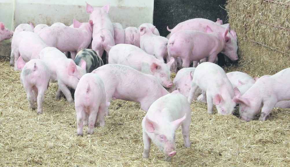 'There is optimism and confidence in the pig sector' - Welsh initiative looking to grow pig herd