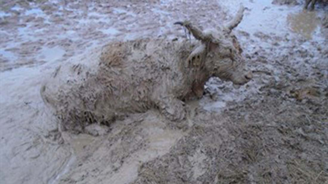 Farmer banned from keeping cattle after leaving calf to die in mud