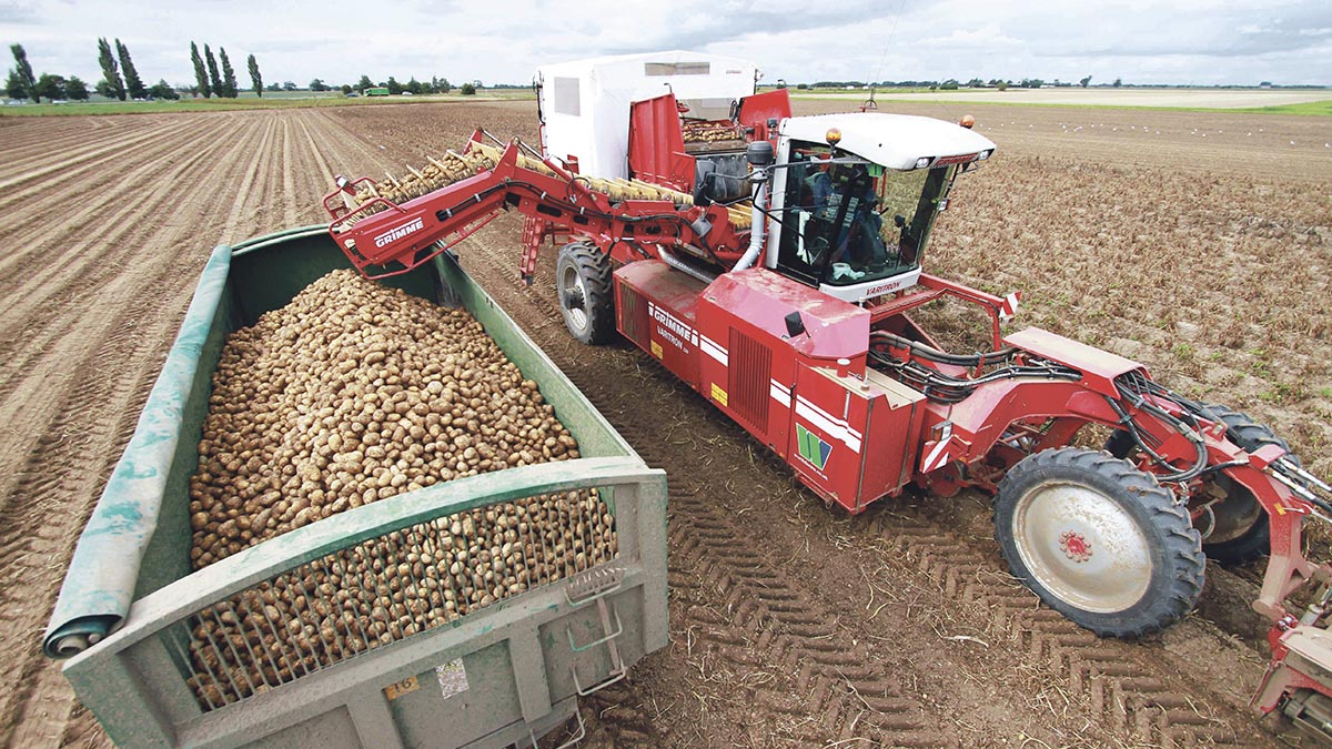 Pleasing potato crop despite rain delays to lifting season