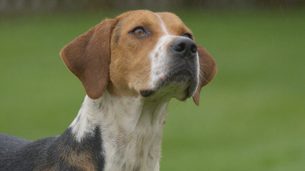 Poor hunt kennel conditions could have made TB problem worse, report finds