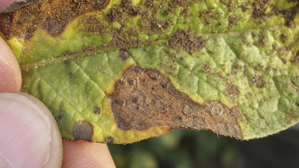 Hot weather could trigger early alternaria attack in potato crops