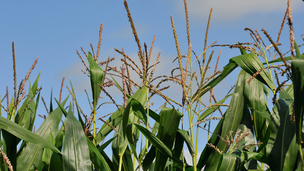 Maize Matters: Managing the fertiliser challenge