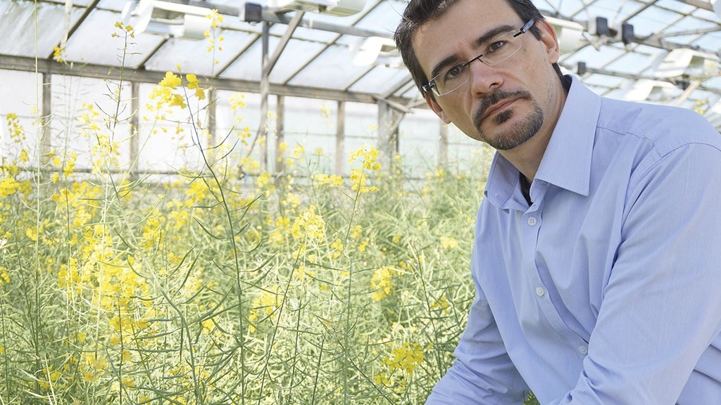 Breeder tackles oilseed rape growing risks