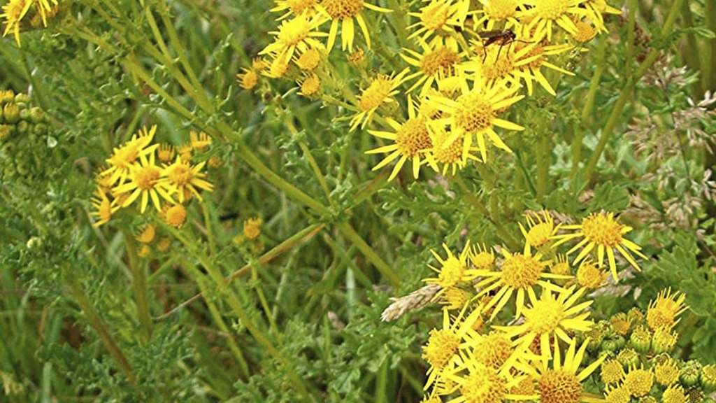 Be vigilant, Ragwort is on the up