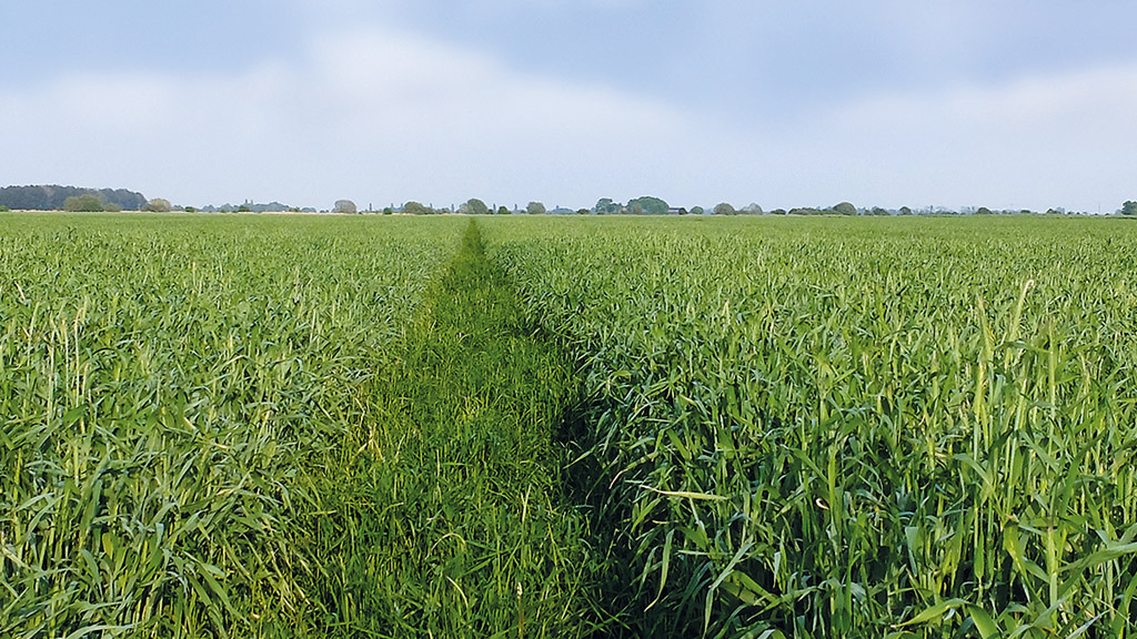 Elsoms Seeds: Getting the best out of hybrid rye