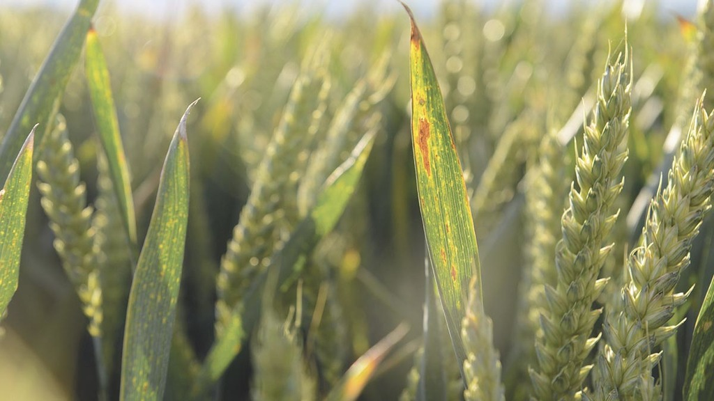 BYDV-resistant wheat announced for drilling autumn 2020