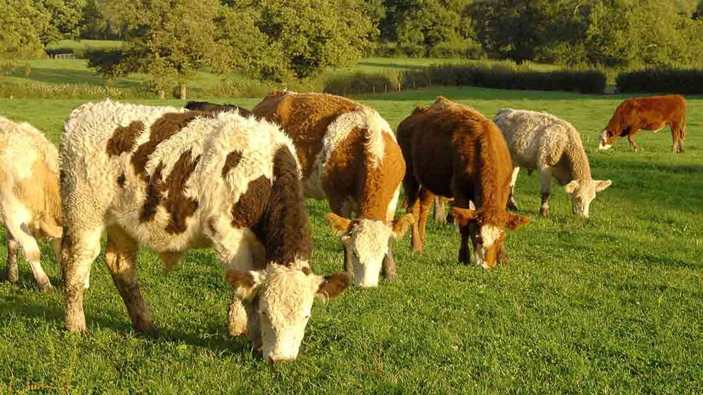 'Plenty of people are looking to buy' - high demand drives organic cattle boom