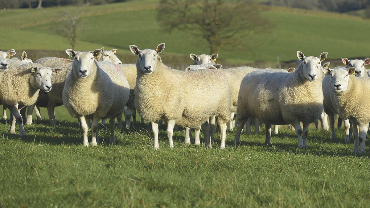 Police clamp down on sheep rustlers with high-tech coding system
