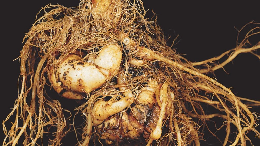 OSR clubroot threat on the increase - here's how to tackle it
