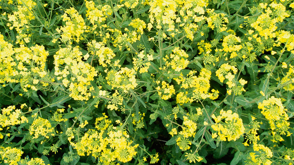iOSR: Flowering N top-up drive yields