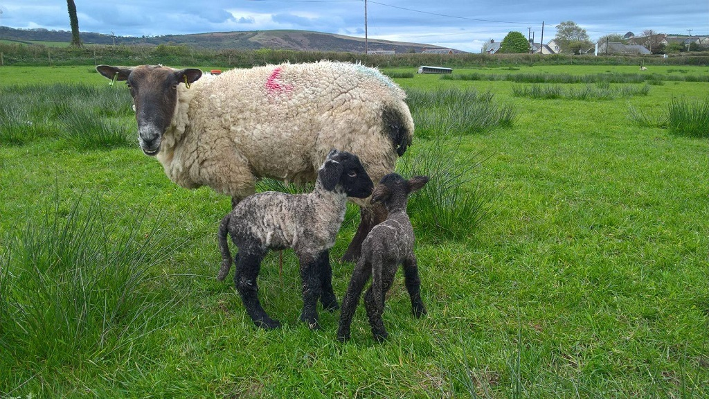 Dog put down after series of sheep worrying incidents - two lambs dead