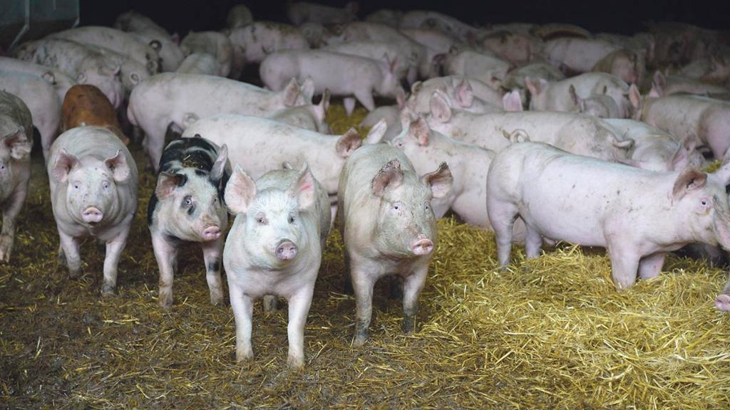 UK given green light to ship pork products to China market