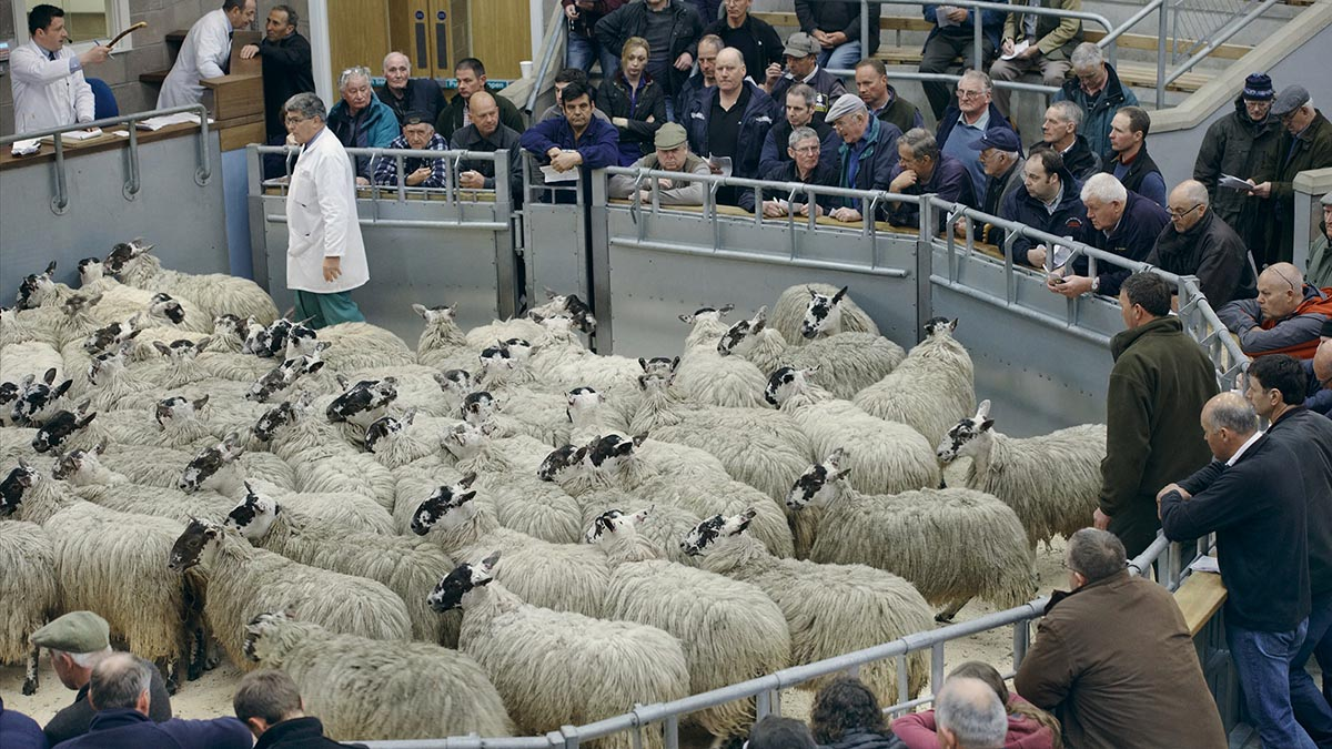 'We regard it a privilege to have had this opportunity' - Caledonian loses tender at Oban mart