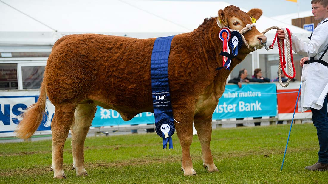 BEEF AT BALMORAL: Trueman Limousins take top spot