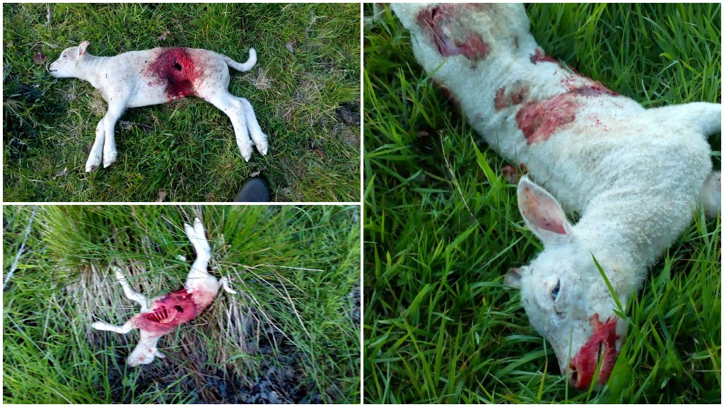 'I am considering giving up farming my own sheep' - farmer furious after 20 new-born lambs savaged by dog