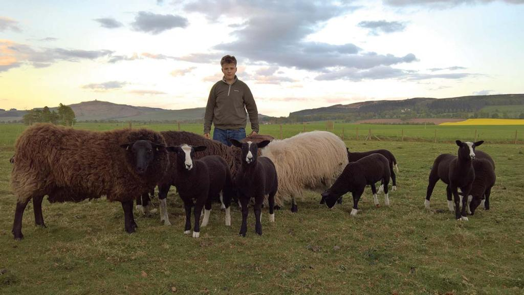 Young shepherd, 14, left devastated after flock attacked by dogs twice in 36 hours