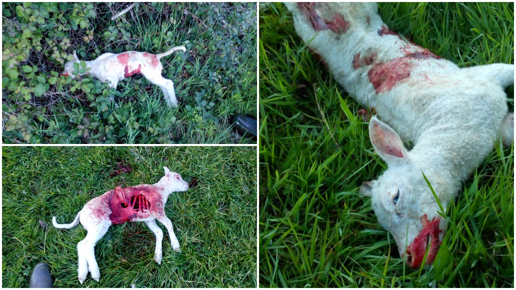 'It's totally heartbreaking' - farmer reduced to tears after 26 lambs killed in dog attack