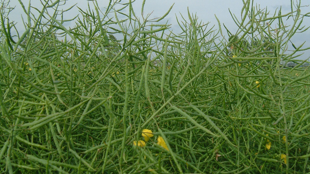 ADVICE: The benefits of growing high erucic acid oilseed rape