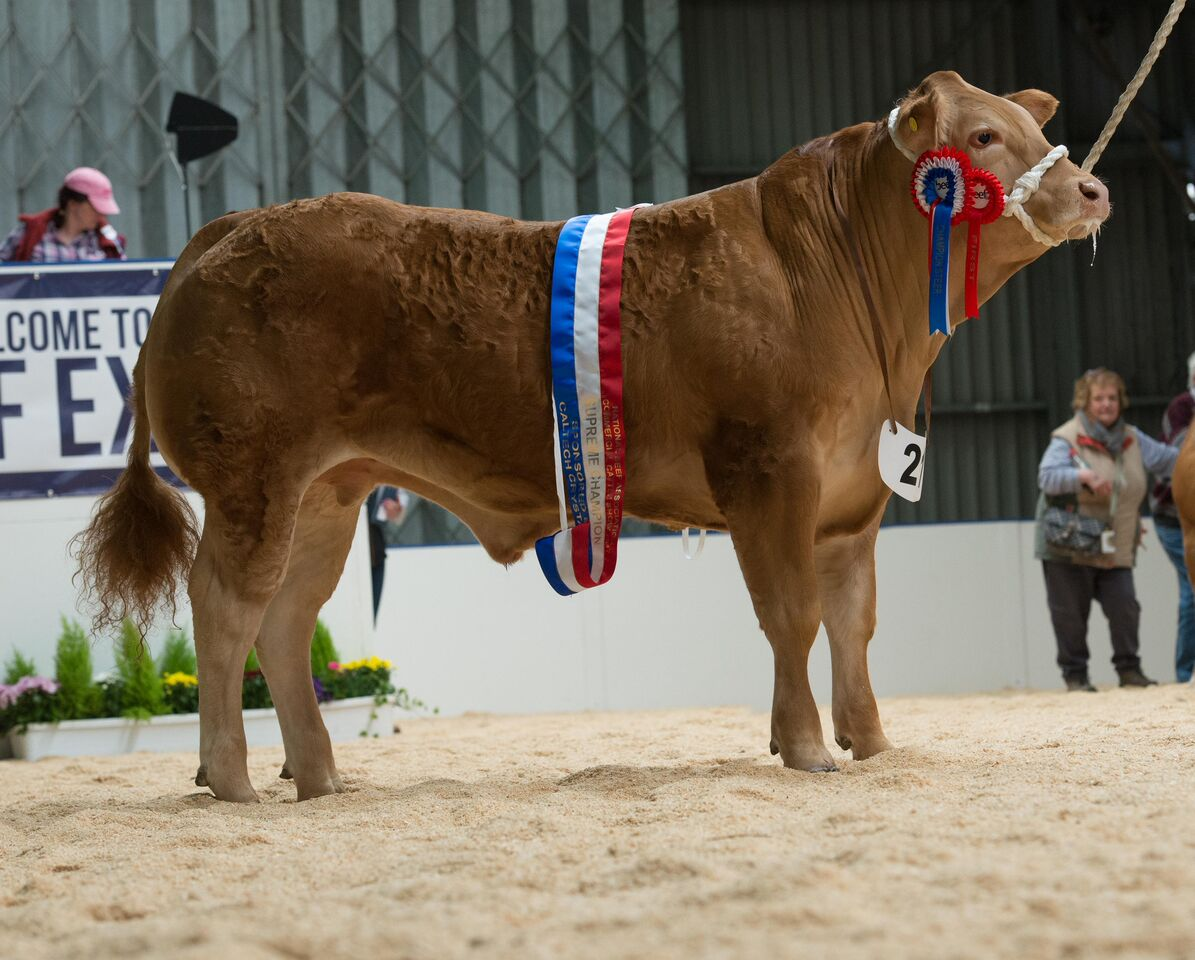 Supreme champion and overall steer.