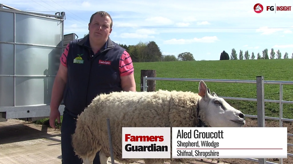 VIDEO: How to perfectly prep a sheep for the showring this season