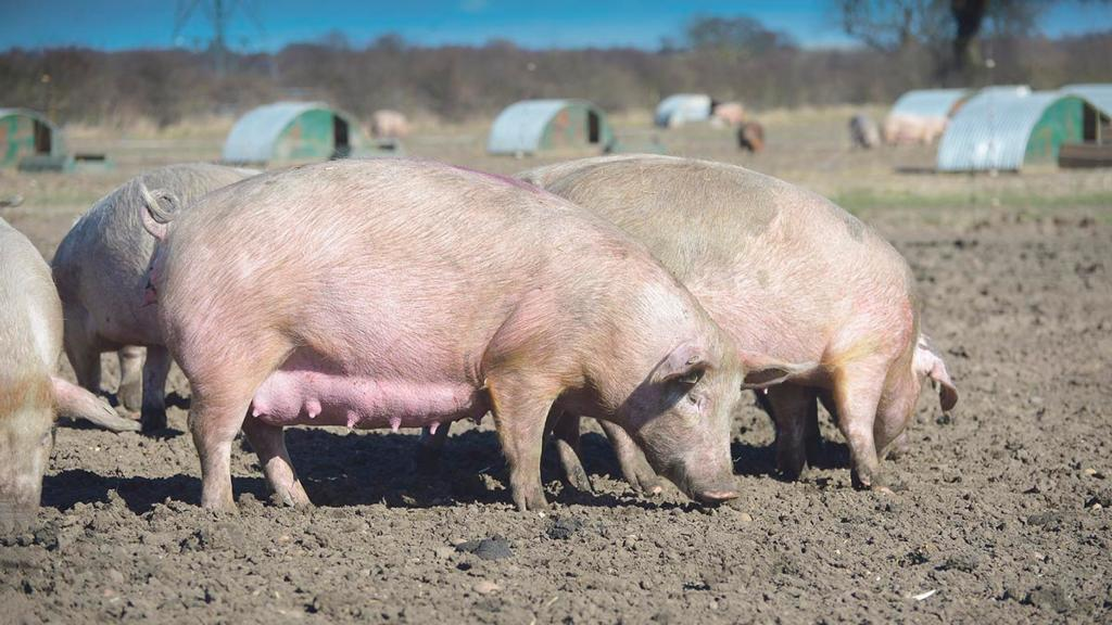 Farmer fined £6,000 for feeding meat sandwiches to his pigs