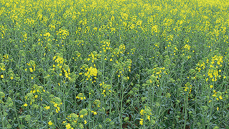 First rise in OSR area since 2012