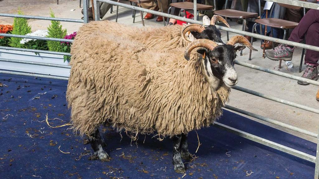 Ewe hoggs sell to 700gns
