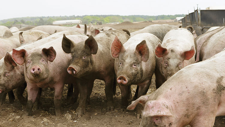 African Swine Fever could be on its way to UK after 'worrying development'