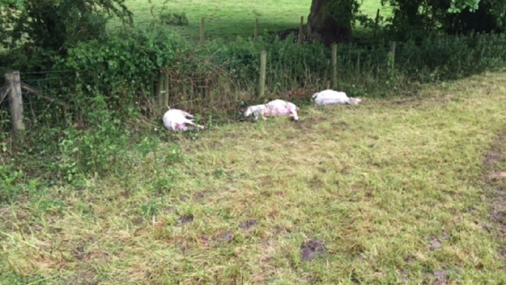 Sheep and lambs killed after being chased into boundary fences by loose dogs