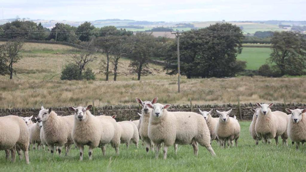 Tackling sheep rustling: New marking system being trialled