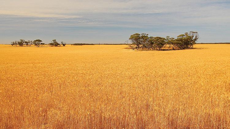 Record dryness in Western Australia drives wheat price rises